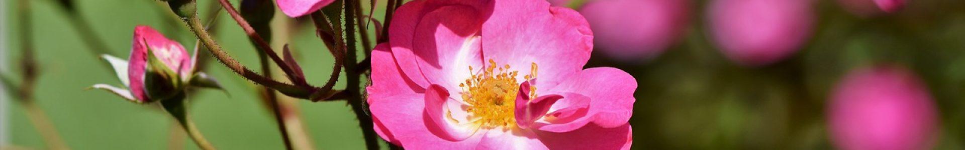 bush-rose-3561173_1280
